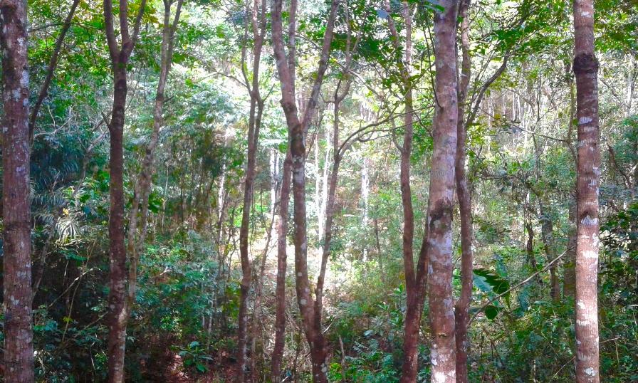 Reforestación en Darién